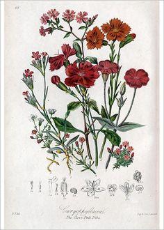 Antique botanical prints from Elizabeth Twining Natural Order of Plants 1849 Vintage Botanical Prints, Botanical Drawings, Botanical Art, Vintage Flower Prints, Vintage Botanical Illustration, Vintage Art, Botanical Posters, Vintage Flowers, Vintage Floral