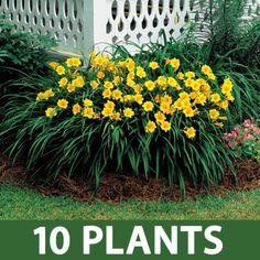 Stella de Oro Daylily Plant / Full Sun / Perennial