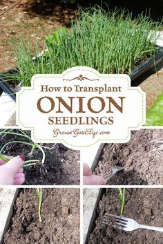 How to Transplant Onion Seedlings | Grow a Good Life | Onions grow best in loose, fertile soil that drains well. Select a growing location that receives full sun or six or more hours of direct sunlight per day. Amend with compost to add nutrients and organic material to aid with drainage. To transplant, remove the seedlings carefully from the container ...: