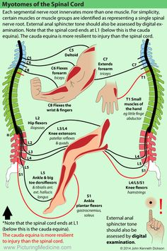 Pin by Lulalu on Anatomie/diseases Human Body Anatomy, Human Anatomy And Physiology, Muscle Anatomy, Nerve Anatomy, Physical Therapy School, Spine Health, Medical Anatomy, Chiropractic Care, Massage Therapy