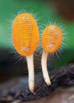 Cookiena tricholoma by MycoImage