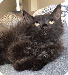 Domestic Longhair Kitten for adoption in Wayne, New Jersey - Forbes