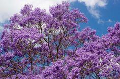 Cuidados del árbol de jacarandá - http://www.jardineriaon.com/cuidados-del-arbol-jacaranda.html #plantas