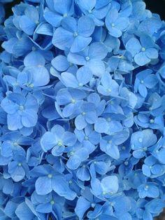 Blue Mop Head Hydrangea