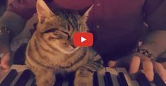 Click to see a kitty that loves his human dad's piano playing