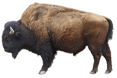 American Bison and American Indian Nations