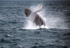 Breaching #humpback whale sailing from #reykjavik #iceland :) #specialtours #iceland