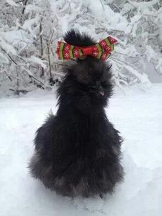 Merry Christmas Silkie Chicken style