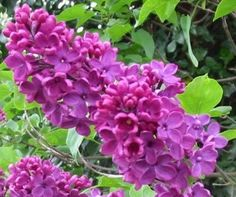 a harbinger of spring, and they represent love. i love going for a run and having that big whiff of lilacs hit me.