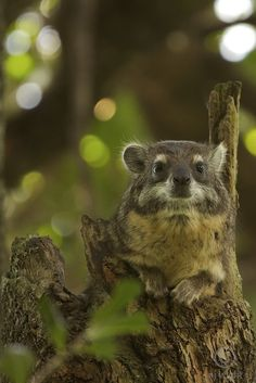 """""""The African tree hyrax is part of the group of animals known as Afrotheria., which also includes, amongst a few others, elephants. The elephant and the hyrax are thought to have descended from a common ancestor and some research indicates they are more closely related than any other group of animals-although the sea cow enters in there somehow. I love freaky little nature tricks."""" I've always loved hyraxes since Gerry Durrell wrote about them. =)"""