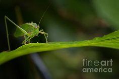 Green Grasshopper on Leaf by Belinda Greb