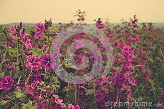 Photo about Field of flowering mallows under summer sky. Image of flowers, flora, petal - 72834491 Summer Sky, Flower Images, Flora, Stock Photos, Photography, Photograph, Fotografie, Fotografia, Photoshoot