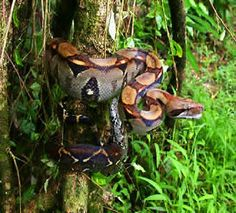 Always a rush seeing these guys ...lives on the ground and in the trees from sea level to 1,000 m in elevation.This photo of a  BOA CONSTRICTOR was taken in Tortuguero