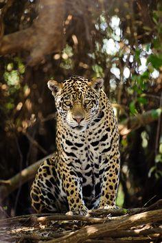 Jaguar / Onça-pintada (by Luciano Candisani)