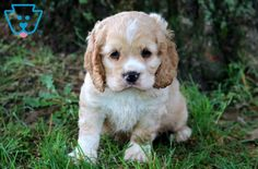 Scout | Cocker Spaniel Puppy For Sale | Keystone Puppies Baby Puppies For Sale, Spaniel Puppies For Sale, Dogs And Puppies, Cocker Spaniel Breeders, Teddy Bear Puppies, Companion Dog, Cute Babies, Animals, Personality