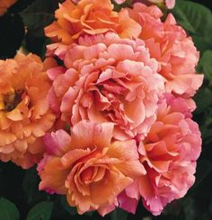Easy Does It™ rose      Rosa 'HARpageant' | Fine Gardening