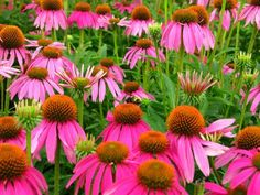 Daisy pink flower wallpaper flowers nature wallpapers for free Best Perennials, Flowers Perennials, Purple Flowers, Beautiful Flowers, Prettiest Flowers, Red Purple, Yellow, Deer Resistant Perennials, Clay Soil