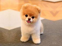 boo the dog - Google Search