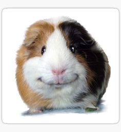 Keep Smiling with Angeelo the Guinea Pig Photo Sticker