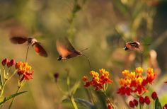 The Amazing Hummingbird Hawk Moth | The Ark In Space
