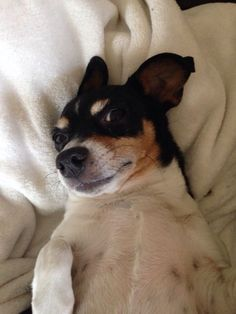 Reminds me of a rat terrier named Indy...Sir Charles E. Bear's brother...