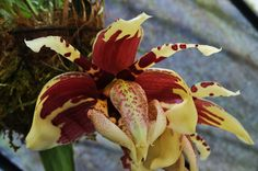 Stanhopea tigrina: easy care tips and  orchid maintenance. https://www.houseplant411.com/houseplant/orchids-how-to-grow-care