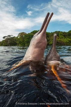 The rare Amazon River Dolphins ~ Pink Dolphins endemic to the Orinoco, Amazonas and Araguaia in South America.