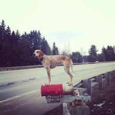 I love Coonhounds and Maddie is just one of the reasons why. Check out her pics. She tours the country bringing hope to all rescues. 40 Pictures Of Maddie The Coonhound Standing On Things