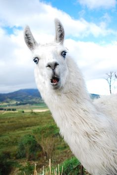 Different Types of Llamas Animal with Facts Alpacas, Cute Alpaca, Llama Alpaca, Alpaca Funny, Cute Baby Animals, Animals And Pets, Funny Animals, Lama Animal, Photo Humour