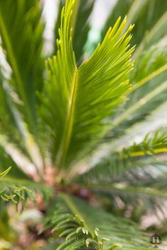 Cycas revoluta (Sago cycad. Japanese sago palm) - License Botanical Images & Stock Photography  from http://archive.chrisridley.co.uk - This image is Copyright Chris Ridley.