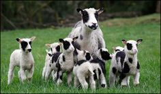 A Finnsheep in Washington state gave birth to seven lambs. So stinking cute. (AP Photo/ Elaine Thompson) We are getting Finn sheep this weekend!