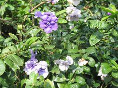 Brunfelsia pauciflora 'Magnifica'  / Brunfelsia pauciflora 'Magnifica'
