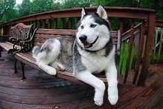 Siberian Husky | Big, Husky, Dog, Beautiful, Lying on a Bench | image: from favimages.com | source: mostnotedposts.tumblr.com