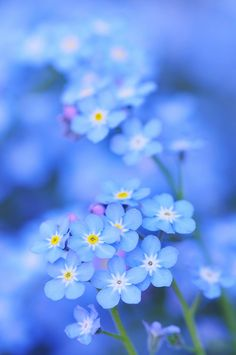 Forget me not... beautiful little flower clusters, also come in white and pinkish purple. I prefer to contain them somehow, or they can and will be quite invasive. Not sure how they would do in a pot that would contain them, but I may just have to try this, this year