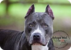 THIS IS MY FAVORITE RESCUE TO DEAL WITH.  THEY ARE WONDERFUL WITH THEIR PLACEMENTS.  Breed: American Pit Bull Terrier Color: Gray/Silver/Salt & Pepper - With White Age: Adult   Size: Large 61-100 lbs (28-45 kg) Sex: Male     I am already neutered, housetrained, purebred, up to date with shots, good with kids, good with dogs, and good with cats.    Johnny Cash's Story...  (click on picture to see all of ORLANDO BULLY RESCUE pets)