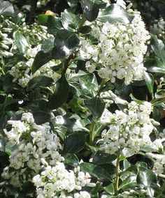 Scented, Aromatic, Fragrant Shrubs and Garden Plants: Escallonia iveyi Flower Farm, Climbers, Botany, Trees To Plant, Garden Plants, Blind, Shrubs, White Flowers, Rose