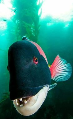 sheephead wrasse von divindk sheephead wrasse by divindk - Sealife Beautiful Sea Creatures, Deep Sea Creatures, Animals Beautiful, Scary Sea Creatures, Underwater Creatures, Underwater Life, Life Under The Sea, Water Animals, Marine Fish