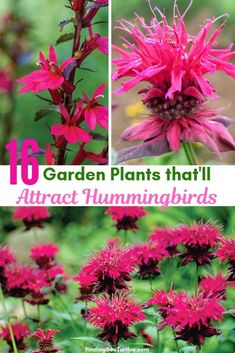 16 Perennials That Attract Hummingbirds to Your Garden! – Kudos Yellow Agastache Perennials for Hummingbirds – Kudos Yellow Agastache Kudos Yellow Agastache has tightly-packed Partial Shade Perennials, Flowering Shrubs For Shade, Ornamental Grasses For Shade, Shade Shrubs, Flowers Perennials, Shade Plants, Planting Flowers, Hummingbird Flowers, Hummingbird Garden