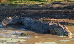 Saltwater crocodiles are by far the most dangerous animals in Australia. Facts, their life, their habitat, and Australian saltwater crocodile pictures. Dangerous Animals In Australia, Australia Animals, Australian Saltwater Crocodile, Crocodile Pictures, Australia Travel, Scuba Diving, Animal Kingdom, Reptiles, Habitats