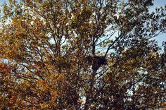 Eagles nest seen slight right of center with autumn foliage still in the old sycamore tree. Soon an unobstructed view of the nest will be present, but the birds aren't hanging out much right now. No need for them to be there since no young are around.
