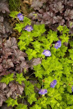 Geranium 'Rozanne' and Heuchera 'Palace Purple' - Spring 2010