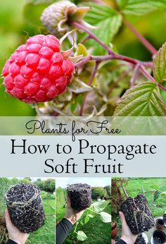 Create new plants by taking cuttings and encouraging them to grow roots. This how-to shows you how to propagate Soft Fruit including Raspberries, Thornless Blackberries, Redcurrants, Blackcurrants, and more! #gardening