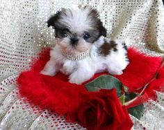 """Exceptional """"Shih Tzus Puppies"""" info is offered on our site. Shih Tzu Puppy, Shih Tzus, Lap Dogs, Dogs And Puppies, Doggies, Lion Dog, Dog Cat, I Love Dogs, Cute Dogs"""