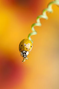 ♀bokeh photography insect Harlequin Twirl