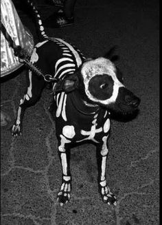 Cool Halloween costume for the dog:) https://www.facebook.com/photo.php?fbid=10151681237223432=a.10151527643748432.1073741826.558418431=1_count=1 | See more about Cool Halloween Costumes, Skeleton Costumes and Skeletons.