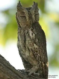 Urutau ave brasileira Plus.google.com