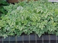 Variegated Bishop's Weed Plant is characterized by erect and hollow stems with broad and toothed upper leaves green and white in color and small white flowers. Weed Plants, Small White Flowers, Perfect Plants, Plant Sale, Fall Flowers, Plant Decor, Green Leaves, A Table, Perennials