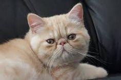 Resultado de imagen para exotic shorthair cat