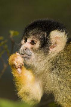 Doodshoofdaapje / Squirrel Monkey | Flickr - Photo Sharing!