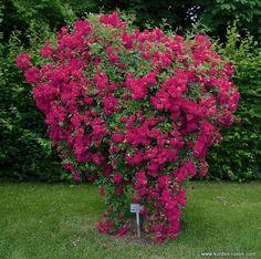 Rose Super Excelsa ®